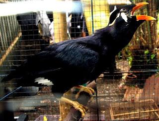Ternak-Burung-Beo