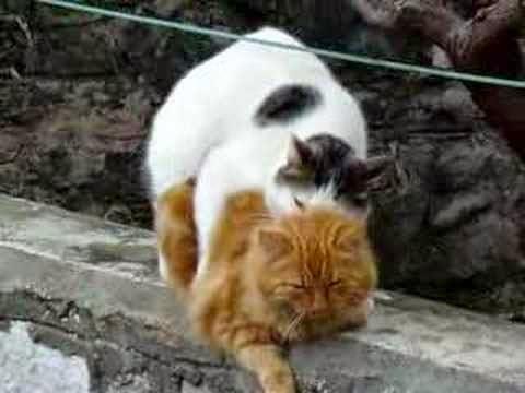Cara Mengobati Kucing