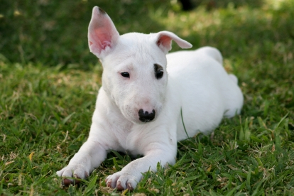 Bull Terrier Puppies Pictures
