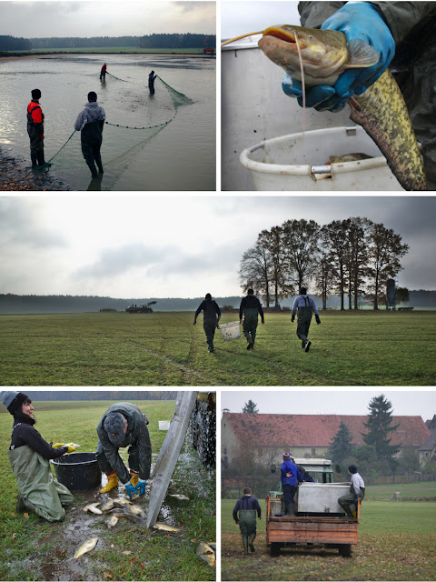 Karpfenfischen mit dem Netz, ein kleiner Waller (Wels), Männer die zum Weiher gehen, Karfen springen aus dem Tank auf die Wiese, Feierabend- die Fischer fahren mit dem Traktor zurück zum Hof.