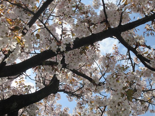Cerezos en flor, Cherry, Blossoms, Sakura, foso de Chidorigafuchi, Hanami, Chiyoda, Palacio Imperial, Tokyo, Tokio, Japón, Japan, Viaje a Japón, Japan Travel, Elisa N, Blog de Viajes, Lifestyle, Travel