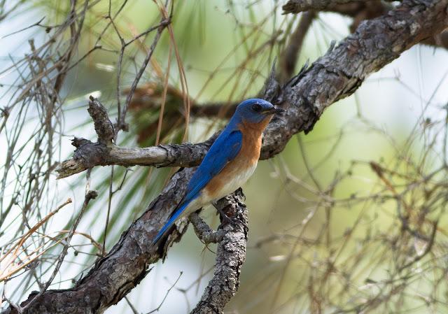 Eastern Bluebird - Three Lakes WMA, Florida
