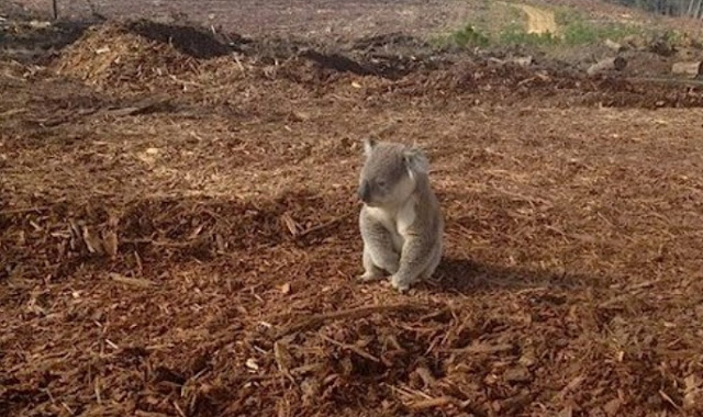 Koala is confused after it's home is cut down (Photos)