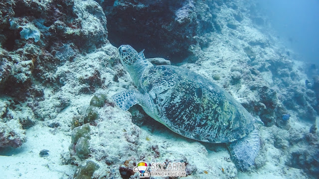 Photo of a sea turtle captured using 'Auto White Balance' mode, lost red color in image and it appear blue overall