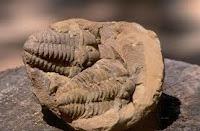 Fosiles de trilobites