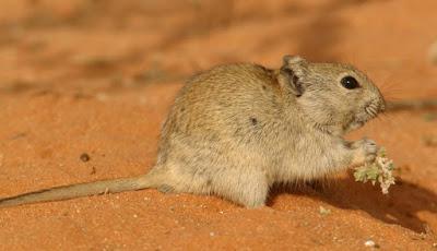 Gerbil - Animals That Start With G