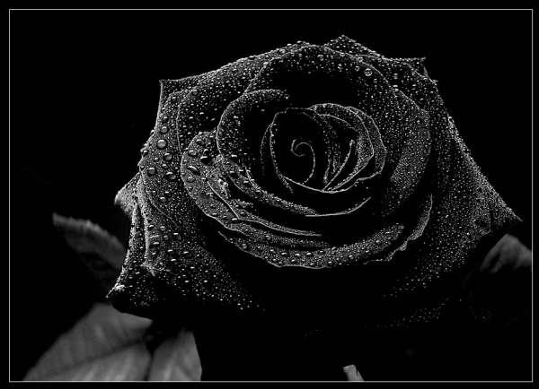 Rose Wallpapers Black Rose Wallpaper