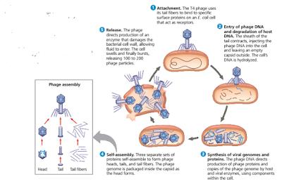 siklus litik pada bakteriofag