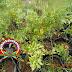 Cara Ampuh Atasi virus gemini dan cmv pada tanaman cabai