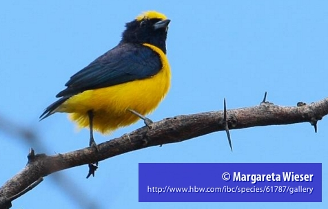 The Trinidad Euphonia bird has a least-concern status and lives on the island of Trinidad as well as in northern Colombia and Venezuela