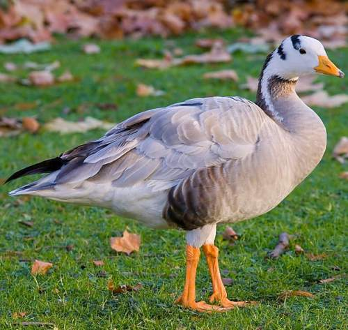Bar-headed goose - Anser indicus