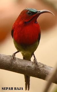Burung madu sepahraja
