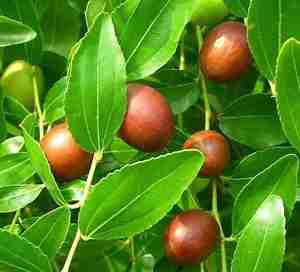 Η Τζιτζιφιά μικρό καρποφόρο δέντρο του οποίου η επιστημονική ονομασία είναι Ζίζυφος η κοινή (Zizyphus sativa)