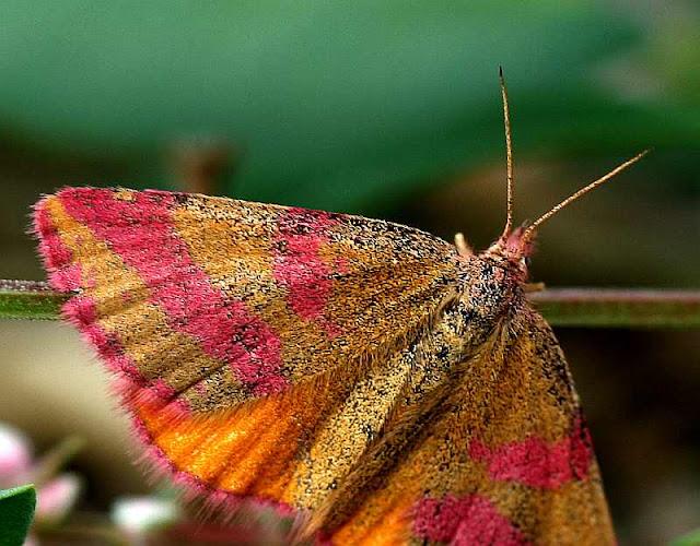Ampfer-Purpurspanner, Lythria cruentaria