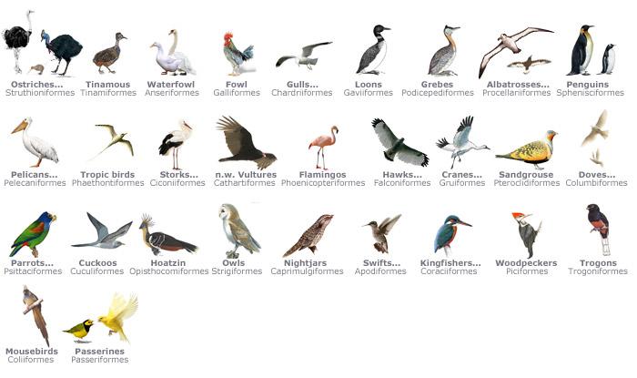 108+ Gambar Hewan Kelas Aves Terbaru