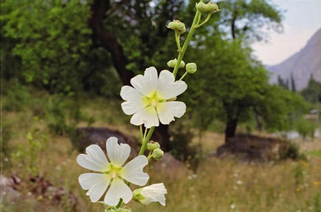 Ouzbékistan, Chakhimardan, Alaï, flore, © Louis Gigout, 1999