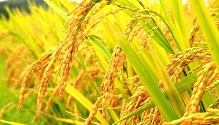 Mimpi menanam padi di sawah togel