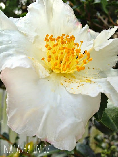 It's the Weekend, camellia,