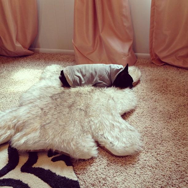 leroy on a bear rug on a zebra rug, pink curtains, drapes