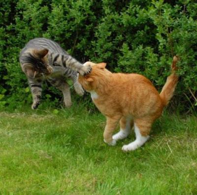 Foto kucing berantem yang keren 06