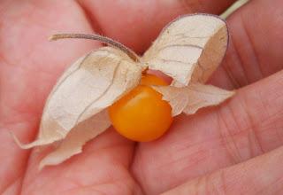 fruta farolillo chino