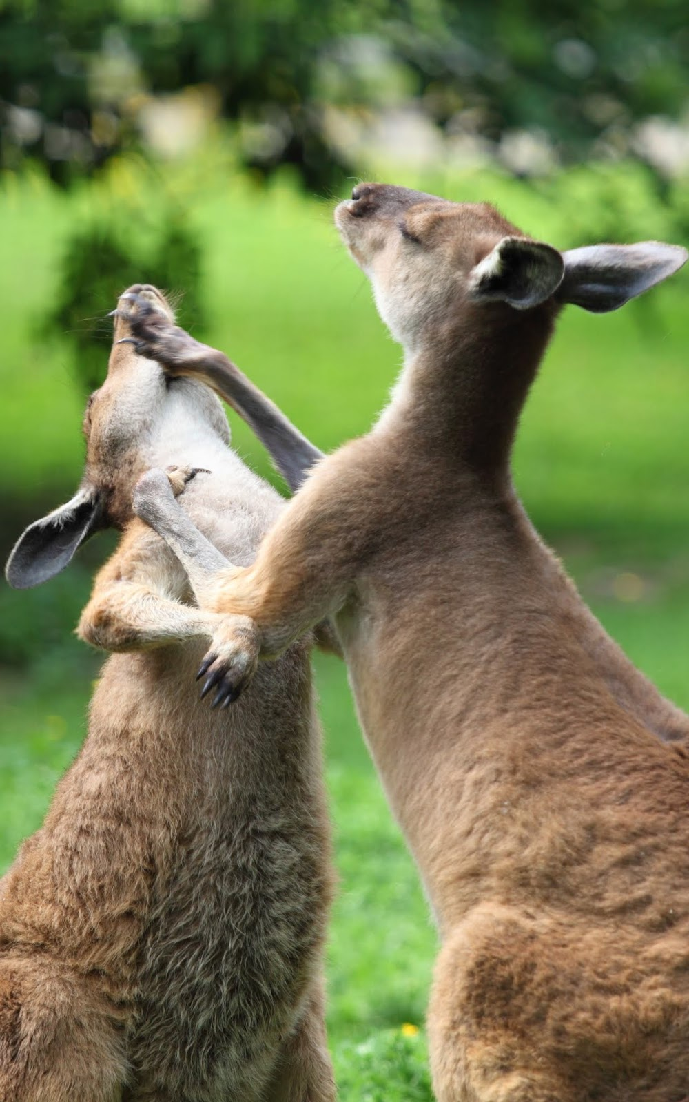 Picture of a kangaroo fight.