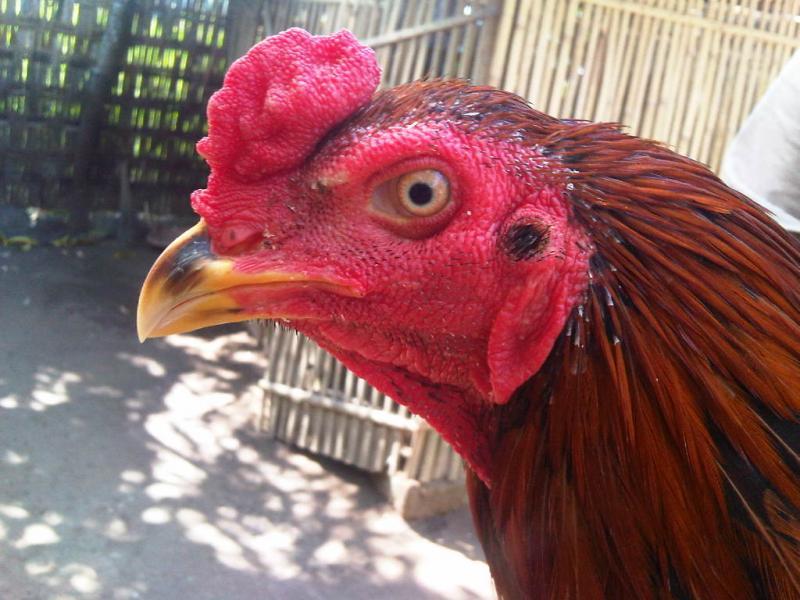 Ayam Laga 2017: Mengenal Ciri-Ciri Kepala Ayam Aduan Juara Menangan