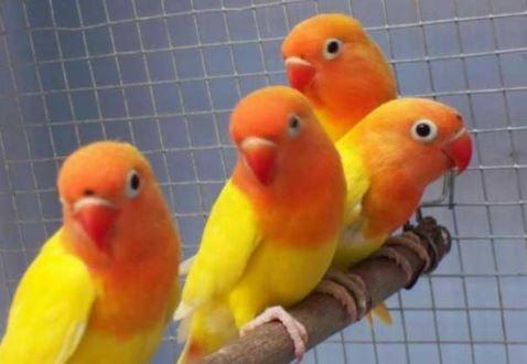 Lovebird Pastel Kuning