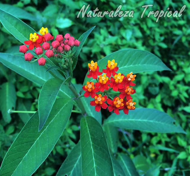 La Flor de Sangre, Asclepias curassavica