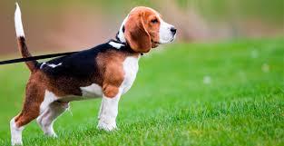 Perro beagle cazador por excelencia