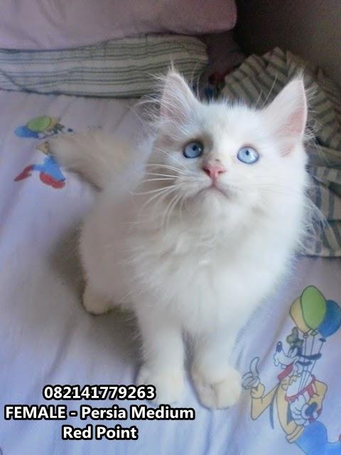 jual kucing persia medium warna putih