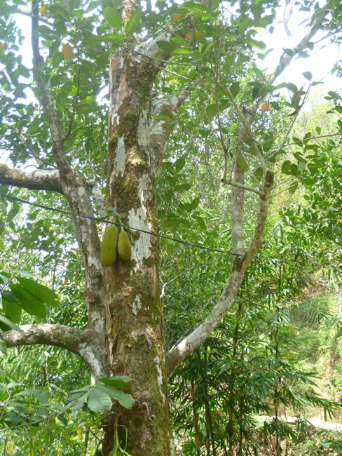Arbol de nangka (jack fruit)