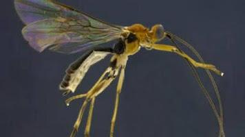 Close-up pf a Aleiodes shakirae wasp