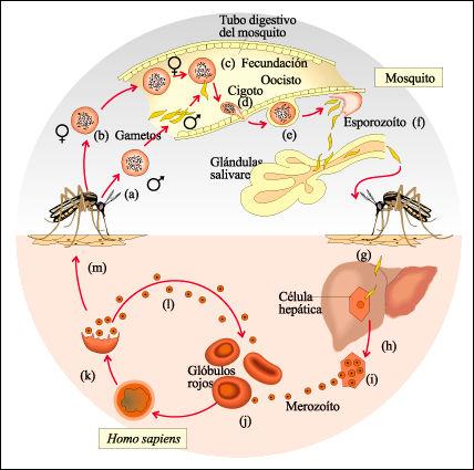 Plasmodium malária fejlődési ciklus diagramja parazita betegségek kezelése