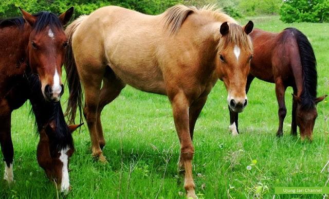 Ternak Kuda Bagi Pemula