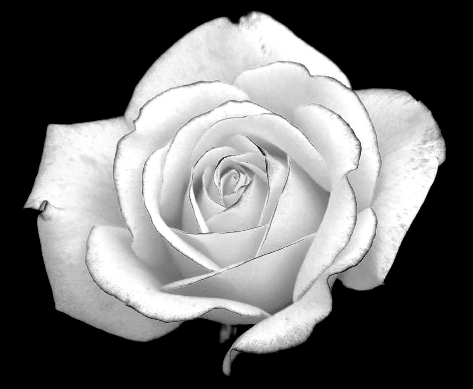 images of animated white roses - photo #14