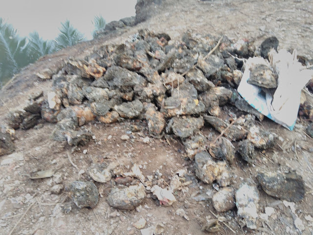 Muru Indian Oyster
