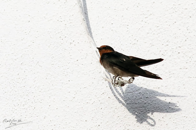 Swallow, Birding during Eid-Adha Holiday