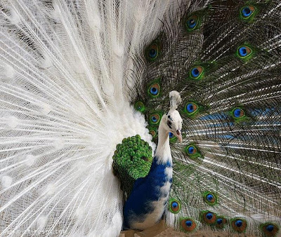 Beautiful White Peacock allfreshwallpaper