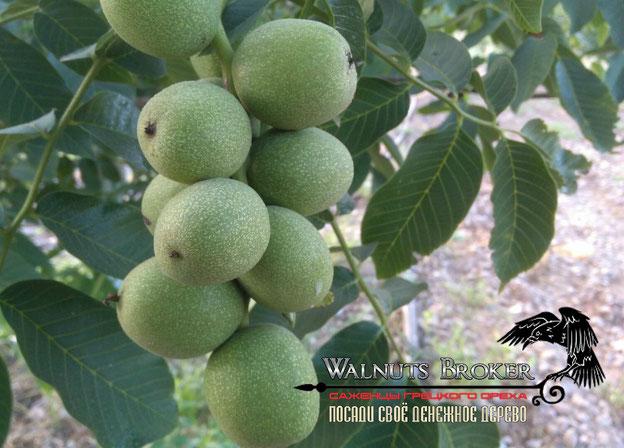 Скороплодный грецкий орех Кочерженко в Украине, 0985674877, Walnuts Broker