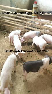 dosis viterna untuk ternak babi,penggemukan babi,vitamin babi,obat babi