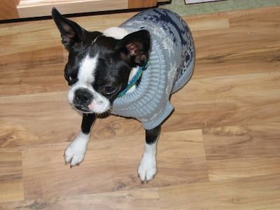 Sinead the Boston terrier in a sweater