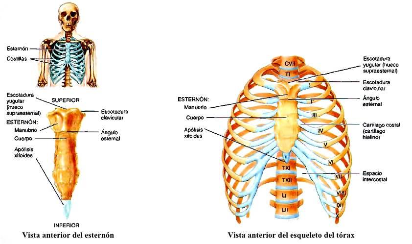 Anatomía del Tórax: esternón, costillas