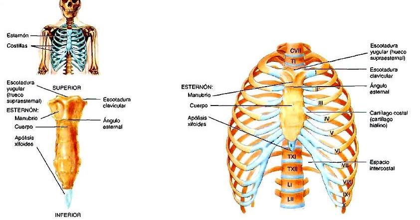 Anatomía del tórax | Anatomía aplicada a la Medicina