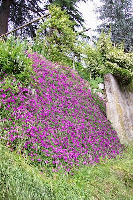 Ultimissime dall 39 orto muro fiorito - Piante striscianti per scarpate ...