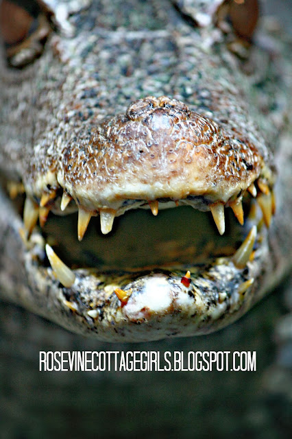 Caiman Smile, Walk on the Wild Side, (C) Rosevine Cottage Girls,