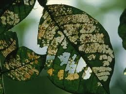 kali ini saya akan menguraikan pengertian hama dan penyakit pada flora beserta beberap Hama Dan Penyakit Pada Tumbuhan