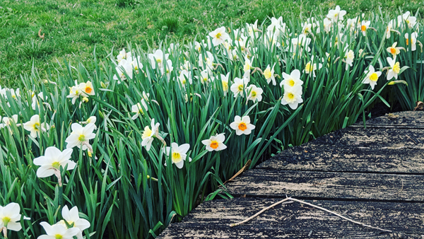 image of a row of white and yellow daffodils planted around the curve of a tree base