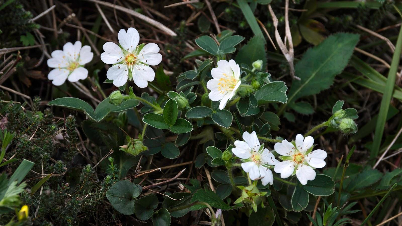 De Flores En La Montana: Flores Y Paisajes De Asturias : Potentilla Montana
