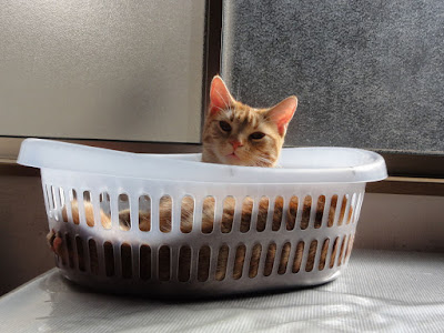 洗濯かごに入った猫がこちらを見つめています。